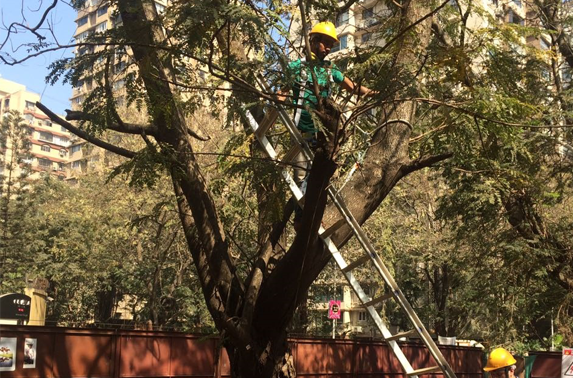 Tree sutting at cuffe Parade